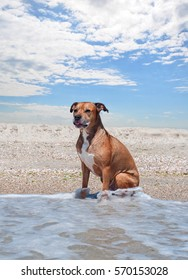 American pit bull terrier is sitting on the beach, summer sunny day