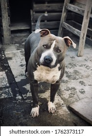 American Pitbull looking at the camera. Dog with gray and white fur. Big Head, Cute and rude pet.