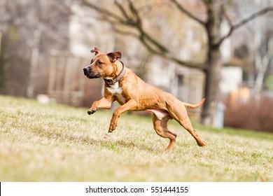 American pitbull terrier, pitbull, apbt, running pitbull, pitbull with ball