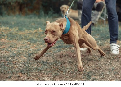 american pitbull terrier bark and strong