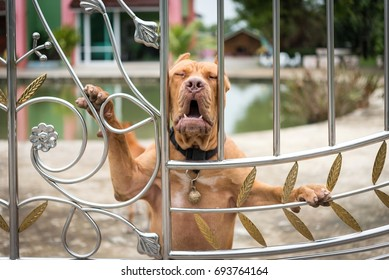 Pitbull Dog Images, Stock Photos & Vectors | Shutterstock