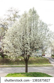 American Plum Tree ( prunus americana) with white flowers
