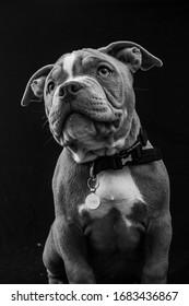 American pocket bull dog puppy