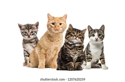 American Polydactyl kitten, European cat, kitten domestic cat, Striped mixed-breed kitten, in front of white background