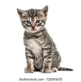 American Polydactyl kitten sitting, isolated on white