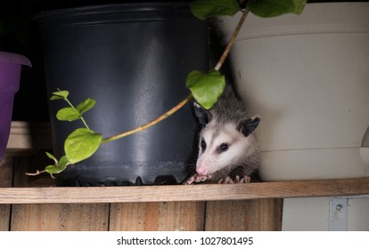 The American possum (Didelphis virginiana) looks out from behind the pot. Surprise Guest. Night