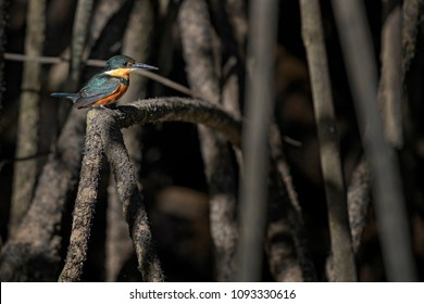 American Pygmy Kingfisher - Chloroceryle aenea, beautiful orange and blue kingfisher from New World fresh waters, Costa Rica.