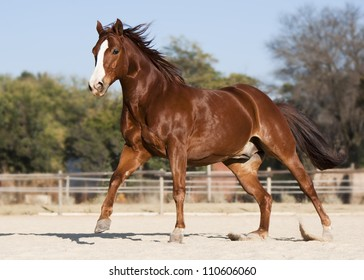 American Quarter horse chestnut stallion