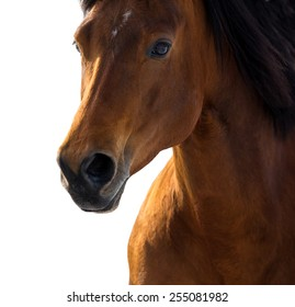 American quarter horse isolated portrait