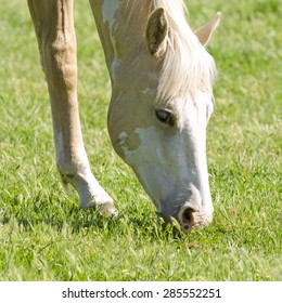 American Quarter horse yearling foal grazing in a ranch field