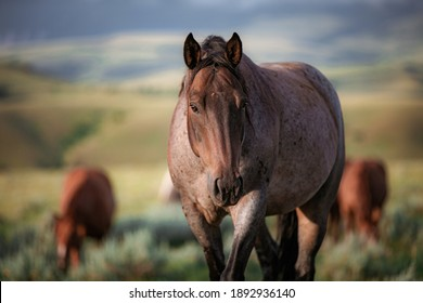 American Ranch horses in Montana