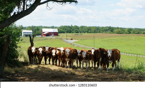 American ranch / Pasture and cows.