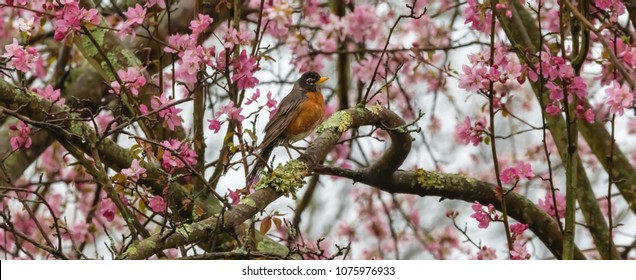 American red robin on blooming flower tree