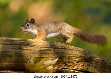 American red squirrel  in action