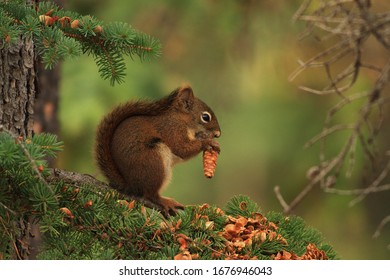 American red squirrel at breakfast
