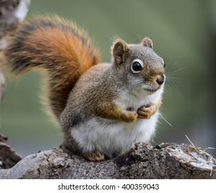 American Red Squirrel Closeup