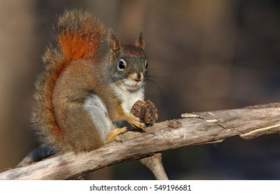 American Red Squirrel eating nuts