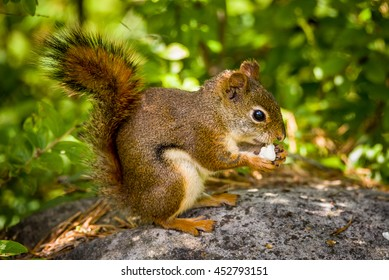American red squirrel eating popcorn sitting on a big, gray rock