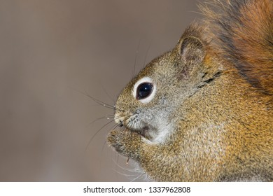 American red squirrel (Tamiasciurus hudsonicus) portrait