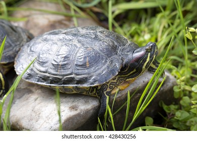 American Red-eared slider, Trachemys scripta elegans, has spread in southern Europe