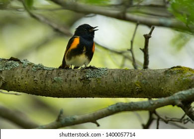 American Redstart standing on a branch singing. Ashbridges Bay Park, Toronto, Ontario, Canada.