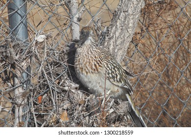 An American Roadrunner (bird) poses nicely for the camera on a warm winter day in New Mexico
