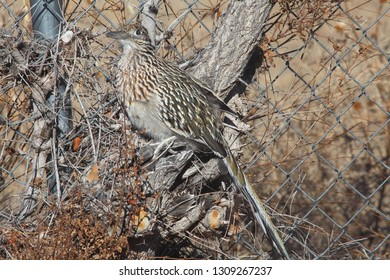 American roadrunner in New Mexico winter