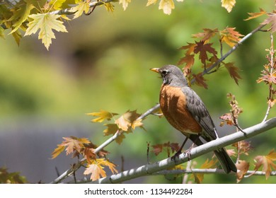 American robbin in a tree, surrounded by leaves.