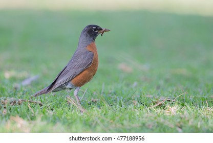 A American Robin
