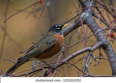 american robin in autumn