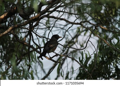 An American Robin bird perched in a corkscrew willow tree.