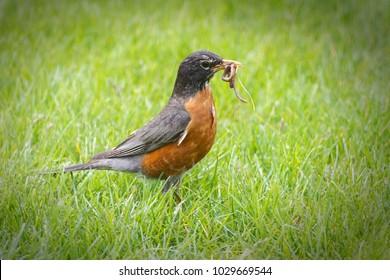 American Robin with an earthworm