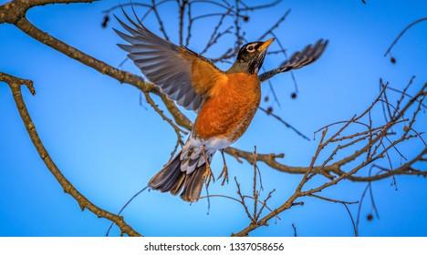 American Robin feasting on berries...