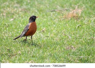 American robin in flat grassy area.