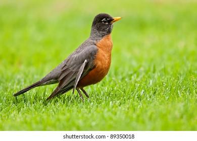 American robin foraging on grassy lawn.