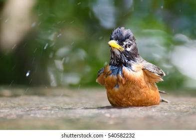 American robin having bird bath