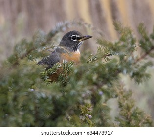 American robin hiding in juniper bush with blue berries