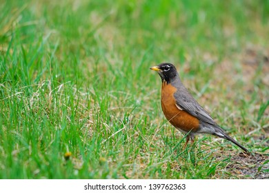 American Robin looking for worms in the grass