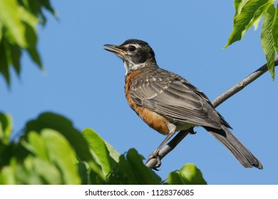 American robin in a lumberry tree.
