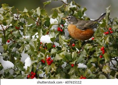 American Robin on Holly
