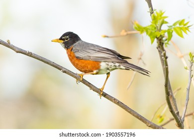 American robin, one of the symbols of spring - even though they live year round in many areas.