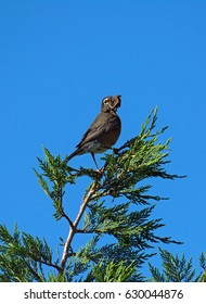 American Robin perched in Juniper tree with mouth full of worms