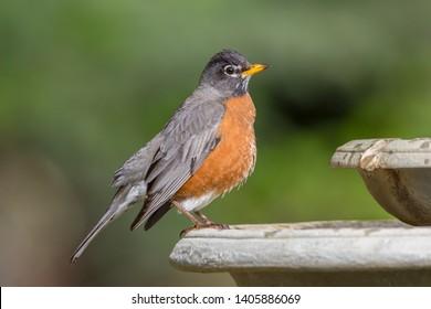 American Robin Perched on a Birdbath