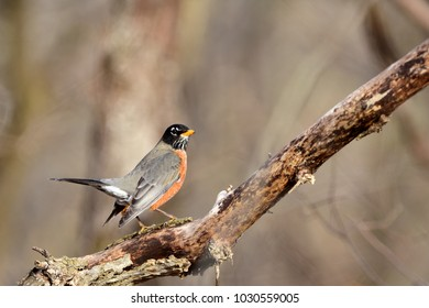 An American robin perched on a dead branch with a brown and tan background.