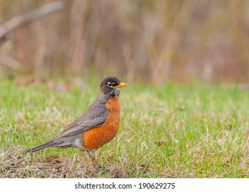 American Robin perched on the grass in the spring.