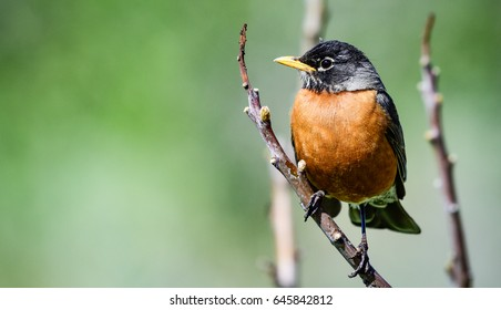 American Robin perched on a tree