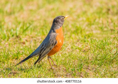 American robin searches for food in the grass.