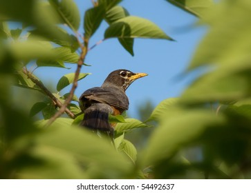 American Robin seen through the leafy branches