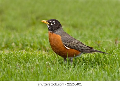 American Robin sits in a field of grass in Spring
