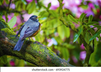 An American Robin sits perched on a tree limb a sign of spring.